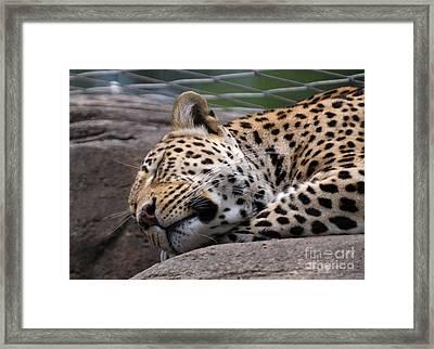 Jaguar Sleeping Framed Print by Miguel Celis