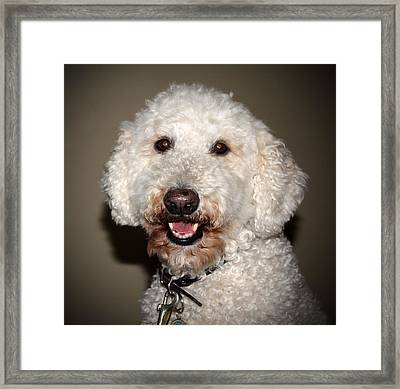 Jake The Labradoodle  Framed Print by Cynthia Guinn