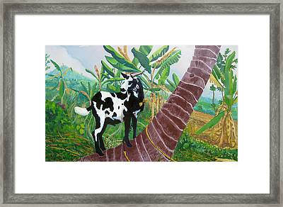 Jamaican Goat In A Tree Framed Print by D T LaVercombe