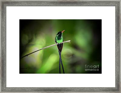 Jamaican Hummingbird Framed Print