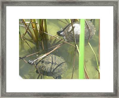 Jamaican Turtles Framed Print by Peter  McIntosh