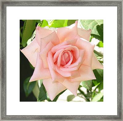 Janet's Pink Rose Framed Print by Rod Ismay