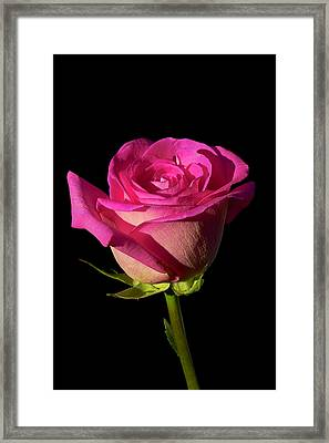 January Rose Framed Print