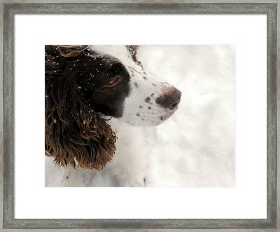 January Spaniel - English Springer Spaniel Framed Print
