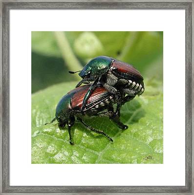 Japanese Beetles Mating Framed Print by Matt Cormons