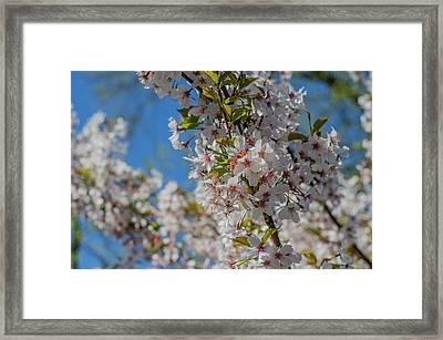 Japanese Cherry  Blossom Framed Print by Daniel Precht