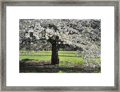 Japanese Cherry Tree Framed Print by Tim Gainey