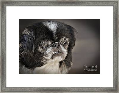 Japanese Chin Doggie Portrait Framed Print by Jim Fitzpatrick