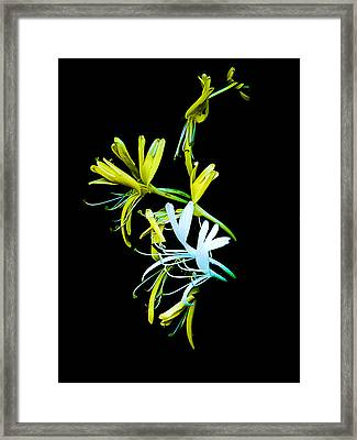 Framed Print featuring the photograph Japanese Honeysuckle by Bill Barber