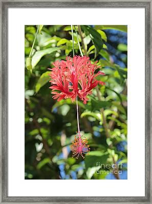 Japanese Lanterns Hibiscus Framed Print by Carol Groenen