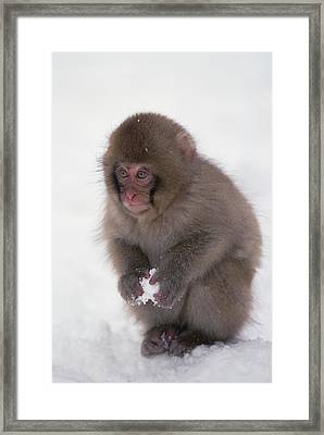 Framed Print featuring the photograph Japanese Macaque Macaca Fuscata Baby by Konrad Wothe