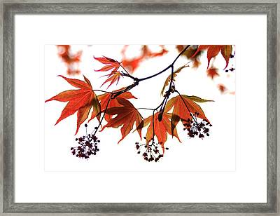 Japanese Maple 2011-2 Framed Print