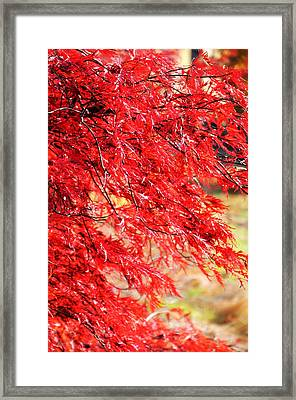 Japanese Maple 9 Framed Print