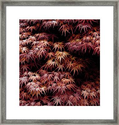 Japanese Maple, Acer Palmatum Seigen Framed Print by Frank Tschakert