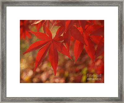 Japanese Maple In Afternoon Framed Print by Anna Lisa Yoder