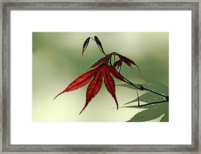 Japanese Maple Leaf Framed Print by Ann Lauwers
