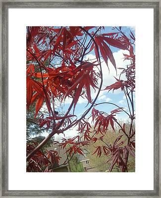 Japanese Maple Leafing Out Framed Print