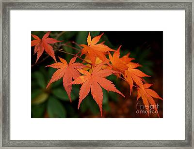 Japanese Maple Leaves Framed Print by Patricia Strand