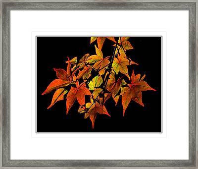 Japanese Maple Framed Print