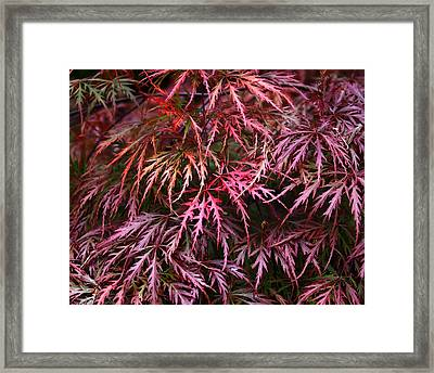 Japanese Maple Framed Print by Rona Black
