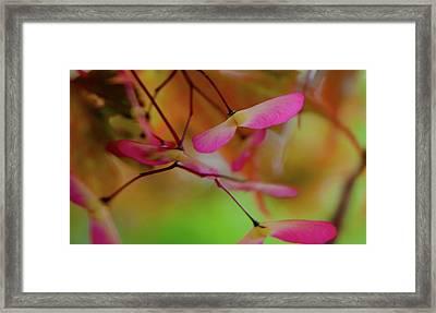 Japanese Maple Seedlings Framed Print by Brenda Jacobs