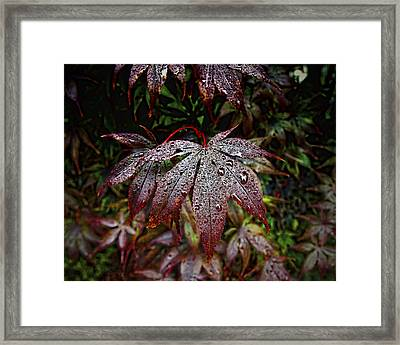 Japanese Maples In The Rain Framed Print by Michael Putnam