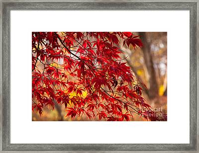 Japanese Maples Framed Print