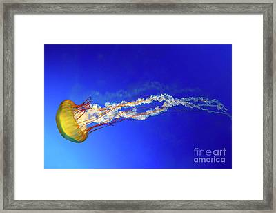 Japanese Sea Nettle Jellyfish Framed Print by Jane Rix