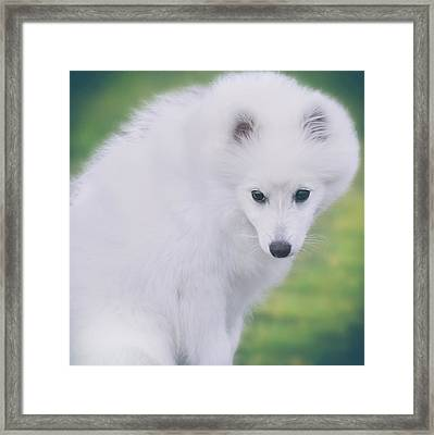 Japanese Spitz Puppy Portrait Framed Print by Wolf Shadow  Photography