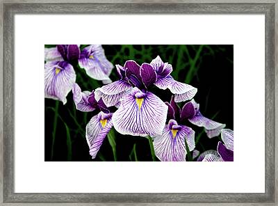 Japanese Water Iris In Purple 2714 H_2 Framed Print