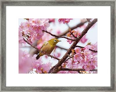 Japanese White-eye On Cherry Blossoms Framed Print