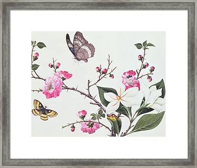 Japonica Magnolia And Butterflies Framed Print by Chinese School