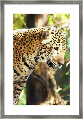Jaquar 2 Framed Print by Russell  Barton