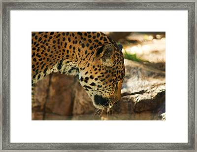 Jaquar Drinking Water Framed Print by Russell  Barton