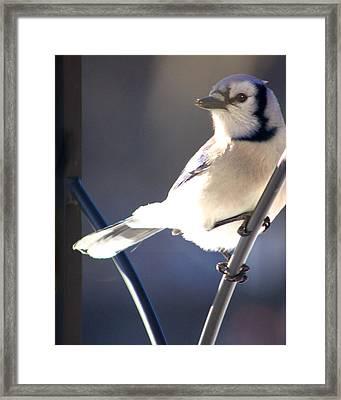 Jay Bird Framed Print by Diane Merkle