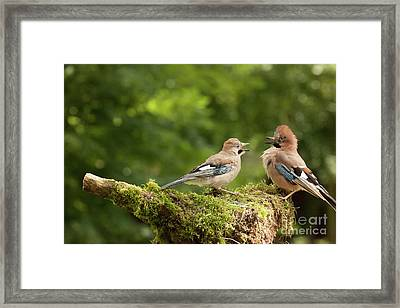 Jay Bird Feeding Young Chick Framed Print