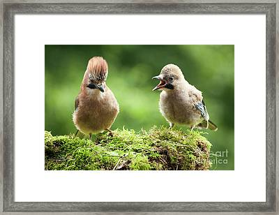 Jay Bird Mother With Young Chick Framed Print