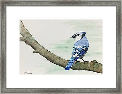 Jay In The Pine Framed Print