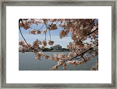 Jefferson Memorial Framed By Cherry Blossoms Framed Print by Brendan Reals