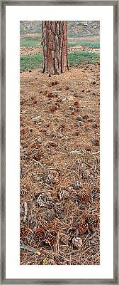 Jeffrey Pine Trunk And Pine Cones Framed Print by Panoramic Images