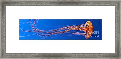 Jelly Fish Framed Print by Darcy Michaelchuk