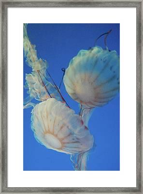 Jelly Fish Framed Print by Samantha Kimble