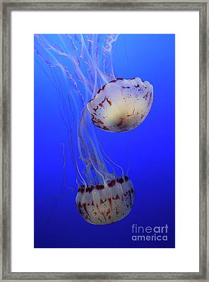 Jellyfish 1 Framed Print by Bob Christopher