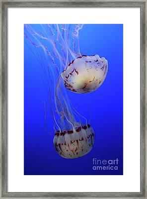 Jellyfish 1 Framed Print by Bob Christopher