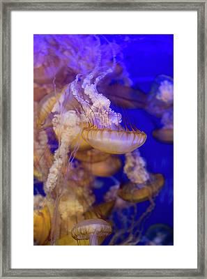Jellyfish 3 Framed Print by Ariane Moshayedi