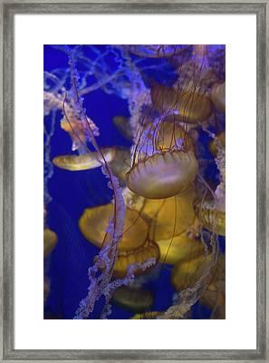 Jellyfish 6 Framed Print by Ariane Moshayedi