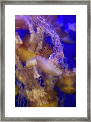 Jellyfish Framed Print by Ariane Moshayedi