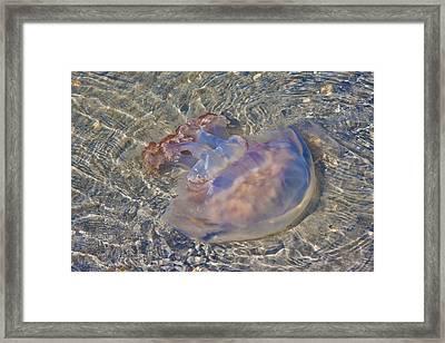 Jellyfish Framed Print by Betsy Knapp