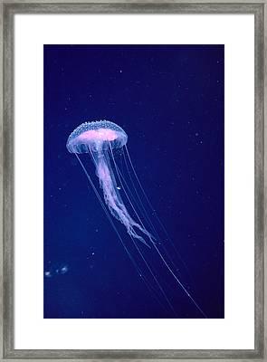 Jellyfish Framed Print by Dave Fleetham - Printscapes