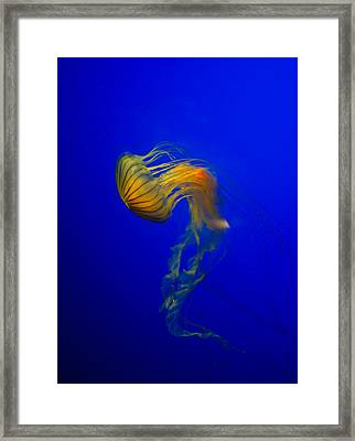 Jellyfish From The Deep Blue Framed Print by Nila Newsom